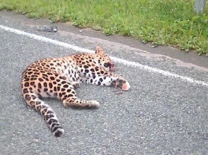 Самка леопарда, сбитая в Приморье, оказалась подопечной олимпийского чемпиона