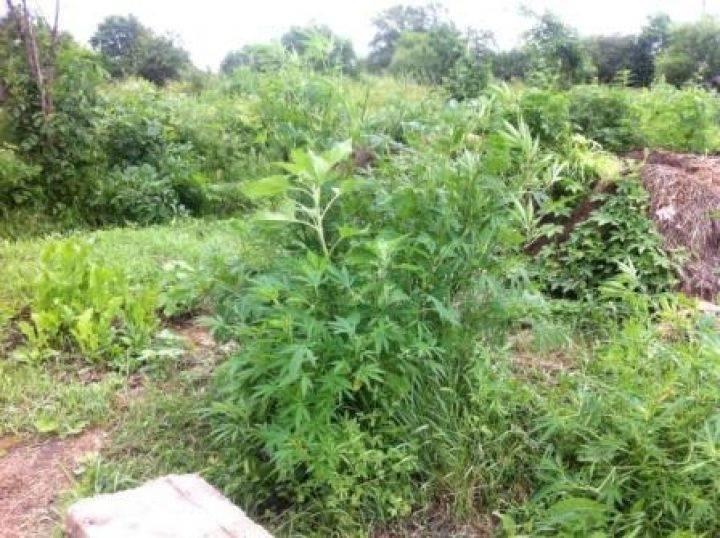 Несовершеннолетний житель Приморья выращивал на своем участке коноплю