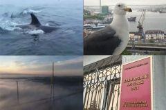 Видео недели: показания «приморских партизан», ручные чайки и шоу косаток