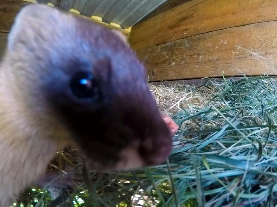 Колонок-сирота вернулся в дикую природу в Приморье