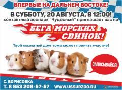 В Приморье впервые пройдет забег морских свинок