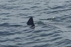 Еще одну акулу сняли на видео в Приморье