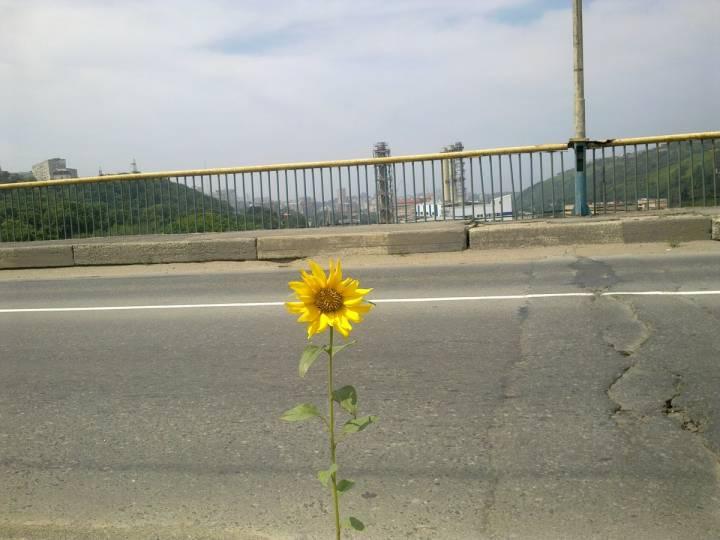 Небольшой подсолнух вырос на Рудневском мосту во Владивостоке
