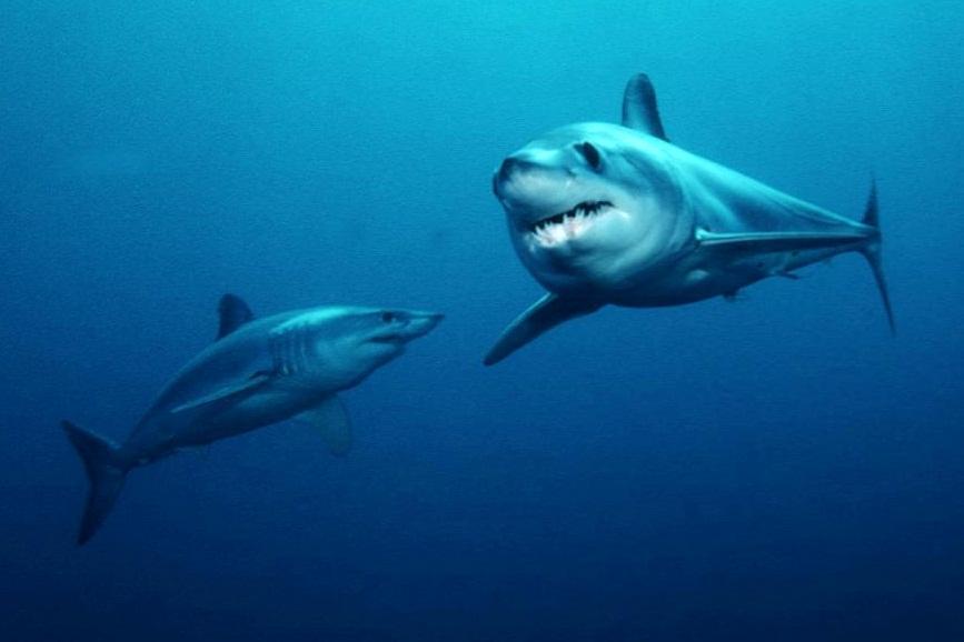 А вот это уже серьезно: «самую быструю и опасную» из акул поймали в Приморье
