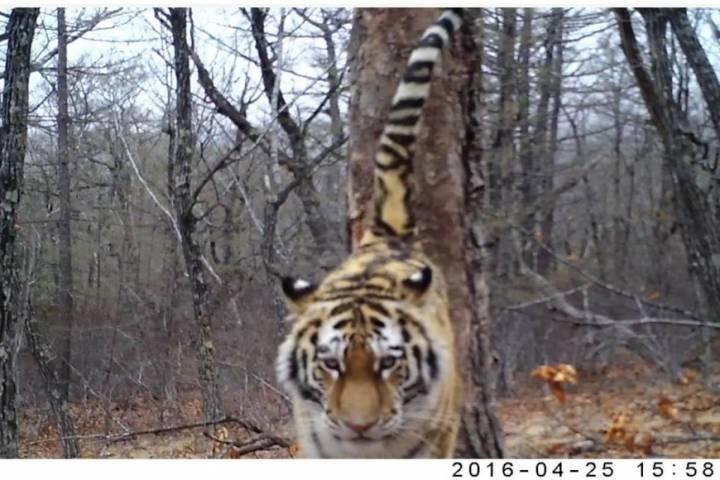Студенты отряда «Тигр» в Приморье придумали имя для молодой тигрицы