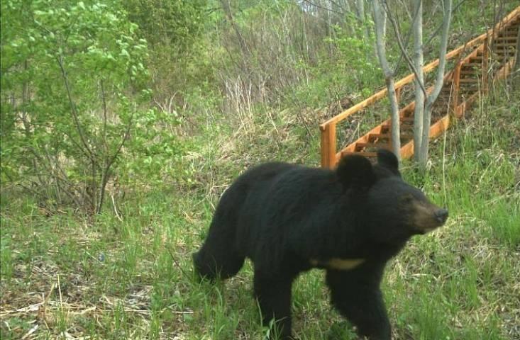Медведь вышел на федеральную трассу в Приморье
