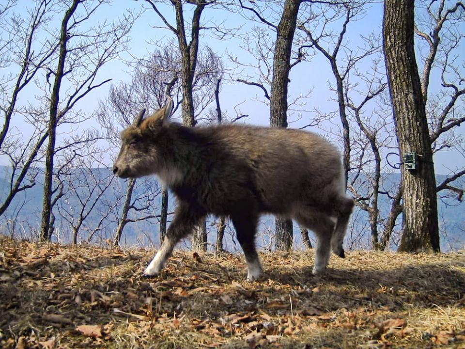 В Приморье фотоловушки зафиксировали самых редких копытных животных