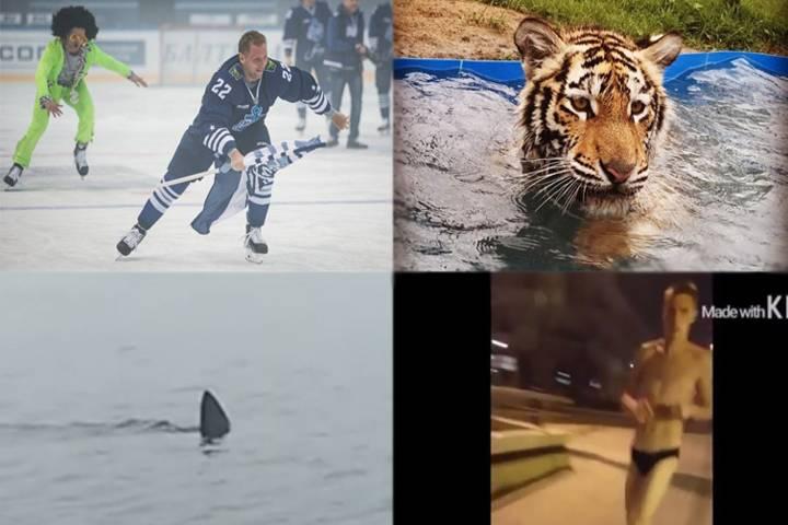 Видео недели: акула, фильм об «Адмирале» и жара в зоопарке