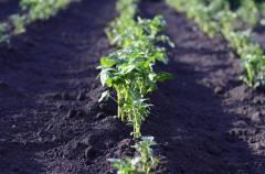 Жажда наживы заставила приморца вскопать чужой огород