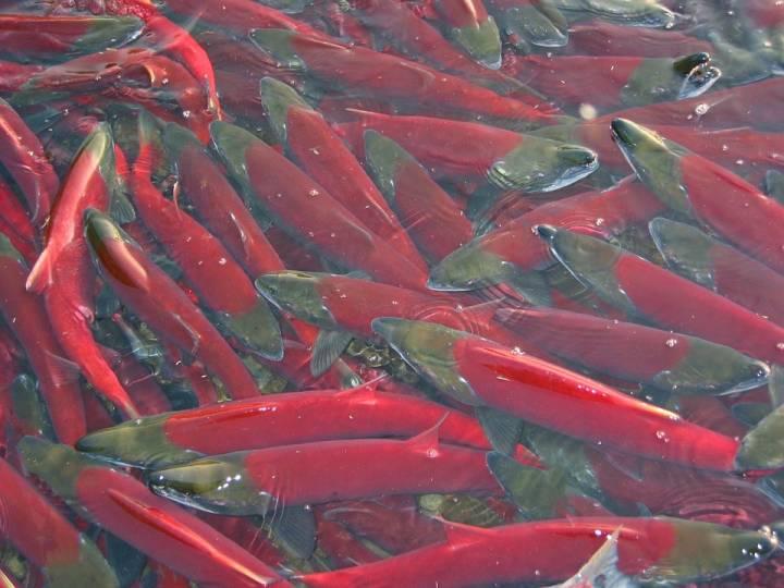 Вылов лосося на Дальнем Востоке превышает уровень 2015 года на 16,4% – добыто 254 тысячи тонн