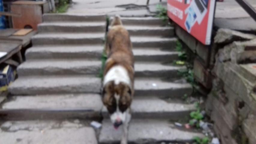 Бездомный волкодав пугает прохожих на Луговой во Владивостоке
