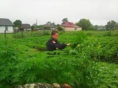 Более 400 кустов конопли обнаружили на участке жителя Приморья
