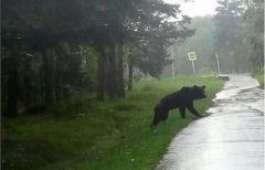 Администрация не будет отстреливать гуляющего по Шмаковке медведя