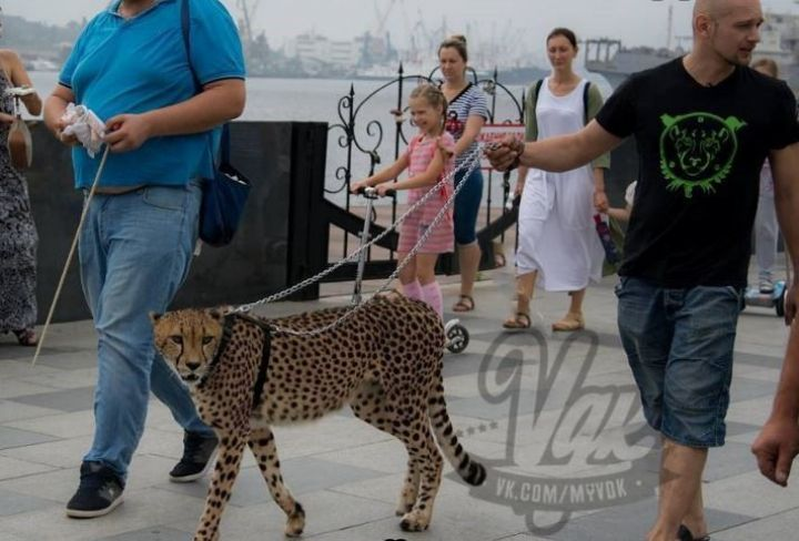 Гепарда-«котопса» выгуляли на набережной Цесаревича во Владивостоке