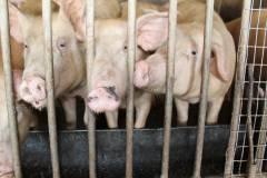 В Приморье на корм свиньям отправили более 400 килограммов фруктов из Китая
