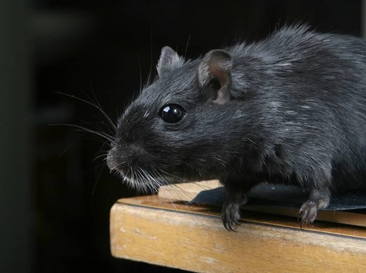 Во Владивостоке пенсионера атаковала дикая крыса