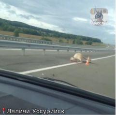 В Приморье на трассе Ляличи - Уссурийск автомобиль сбил корову