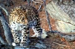 На «Земле леопарда» появилась новая пятнистая обитательница