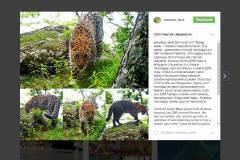 «Земля леопарда» показала повзрослевшего детеныша «крестницы» Памелы Андерсон