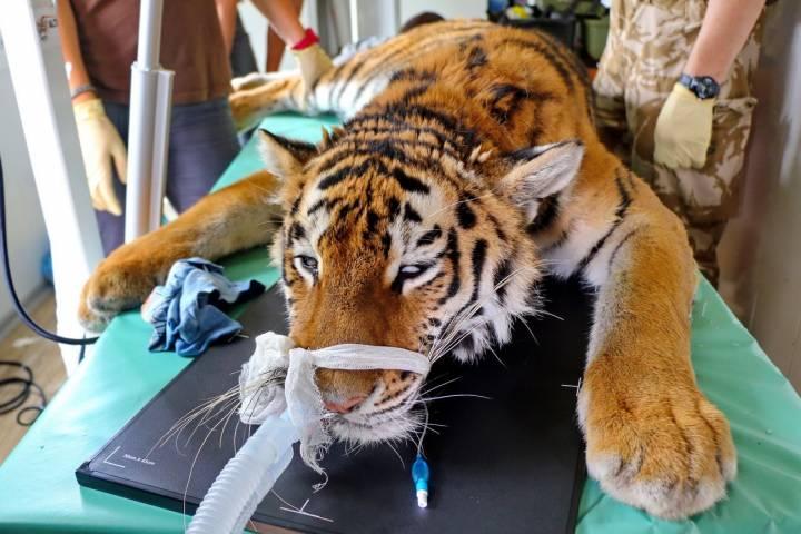 Спасенная в Приморье тигрица Филиппа прошла медосмотр