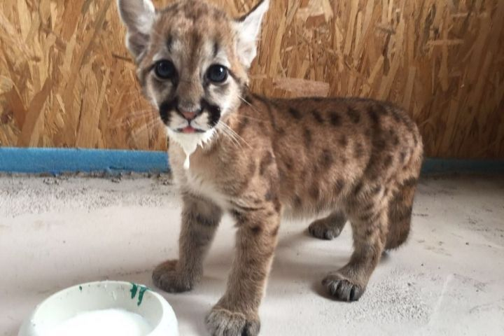В зоопарке «Чудесный» поселилась первая в Приморье семья канадских пум