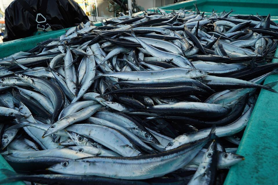 Приморские рыбаки выловили 2,5 тонны иваси и 650 тонн скумбрии