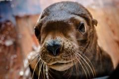 В Приморском океанариуме поселился морской львенок