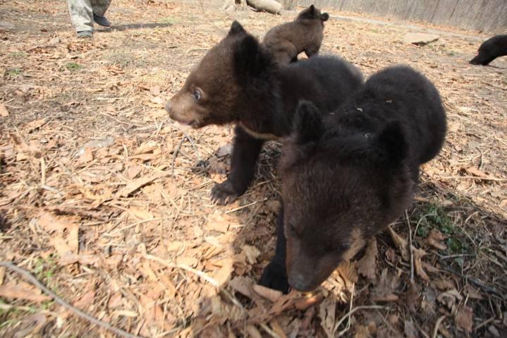 Гималайский медведь не исчезнет из лесов Приморья
