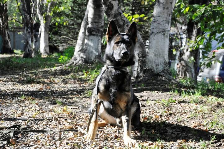 Служебная собака Охан раскрыла преступление в Приморье