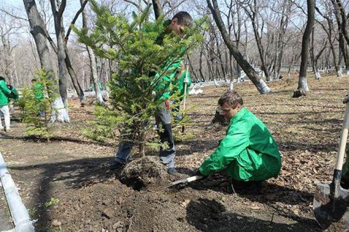 Сотни хвойных деревьев были высажены во Владивостоке