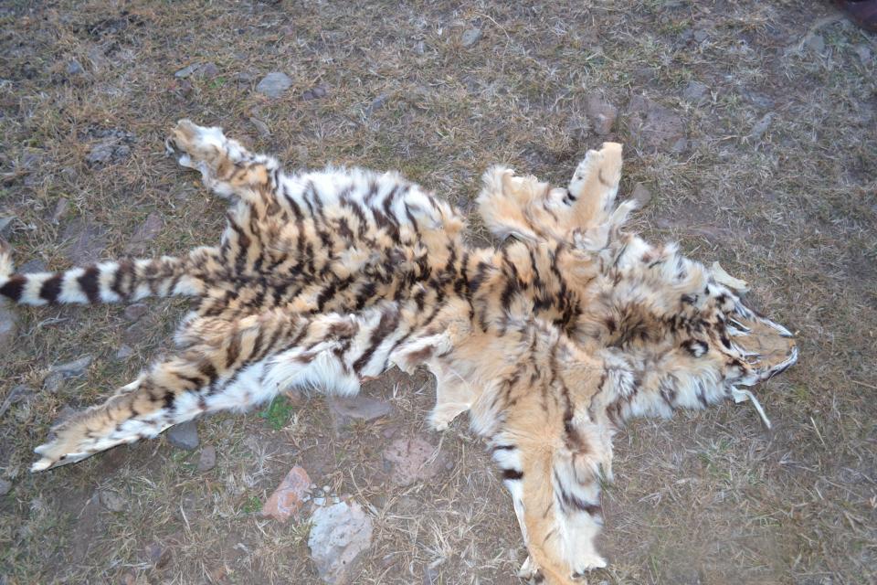 Шкуру амурского тигра обнаружили на территории крестьянско-фермерского хозяйства в Приморье