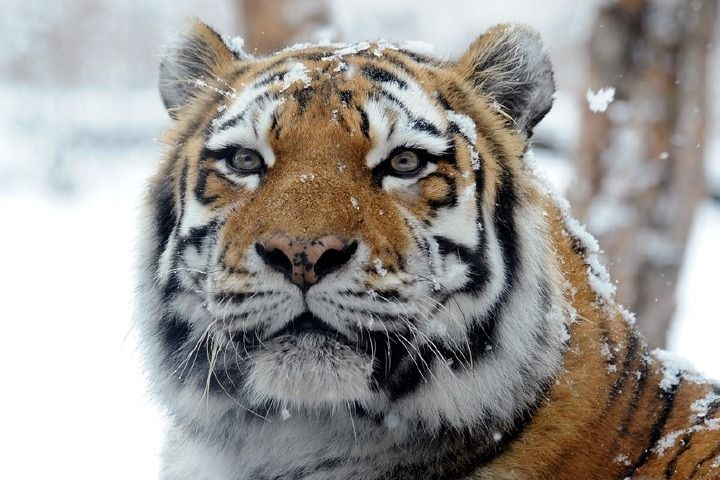 Ученые подтвердили, что на снятом в Приморье ролике дорогу перебегал тигр