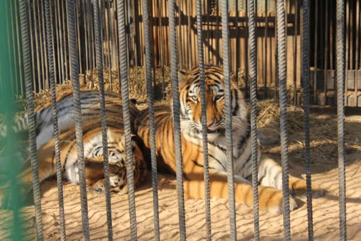 Зоопарк «Садгород»: «Тигр, перебегающий дорогу в Артеме, – видеомонтаж»