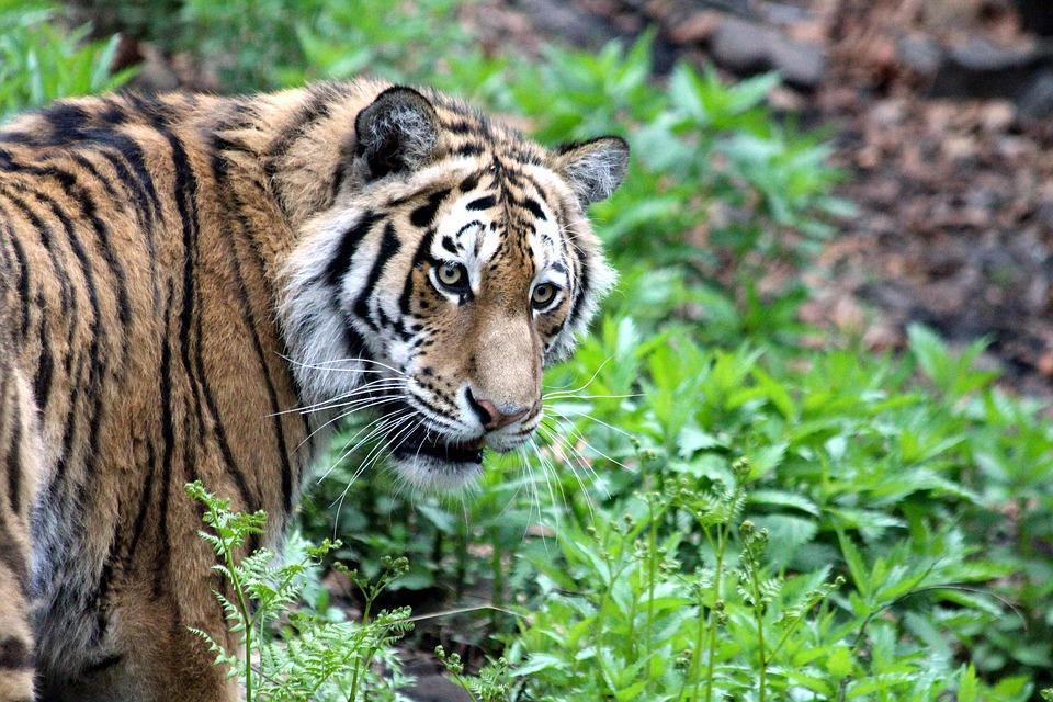 Последствия выхода голодного тигра к людям сняли на видео в Приморье