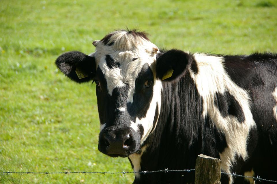 Корова стала причиной ДТП на острове Русском