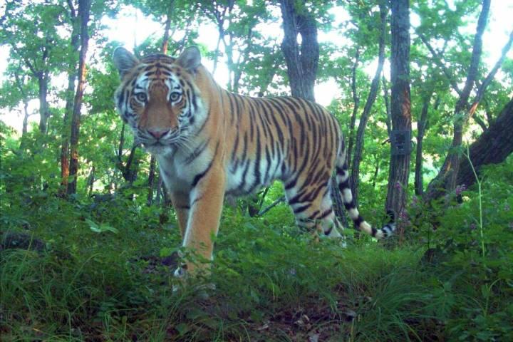 Специалисты прекратили поиски тигра, перебегавшего дорогу в окрестностях Владивостока