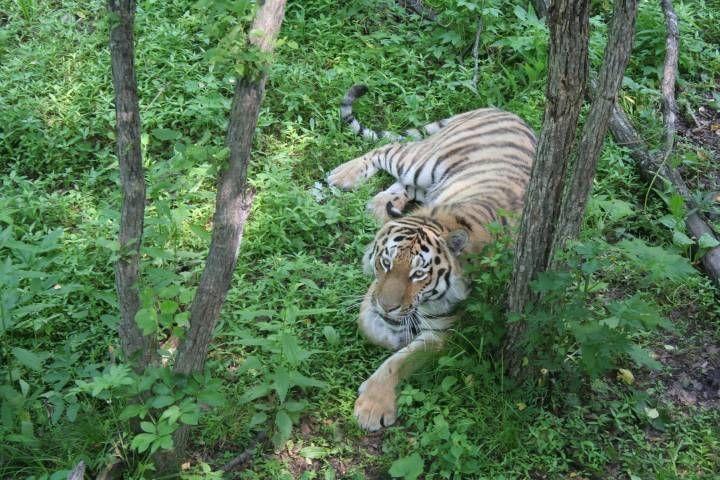 Поиски тигра во Владивостоке затрудняет грязь - источник