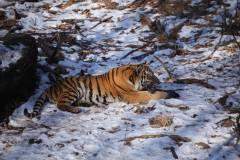 Очевидцам удалось снять тигра на видео во Владивостоке