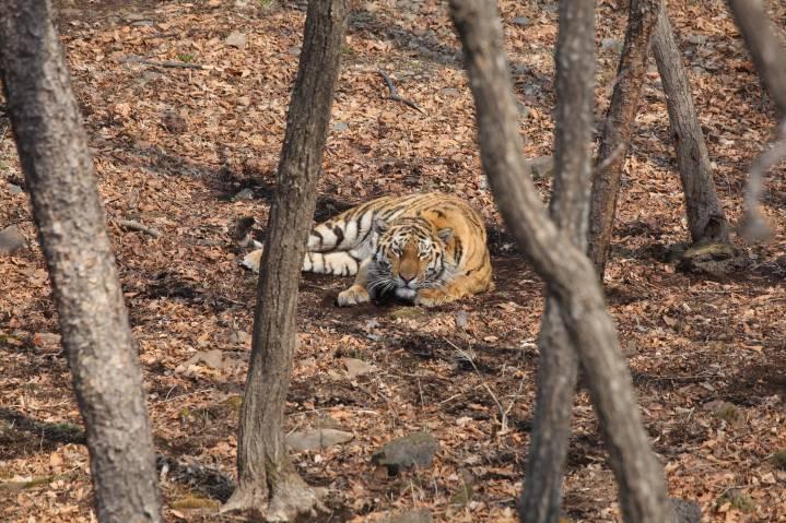 Очевидцы опубликовали видео тигра, который сидел на обочине