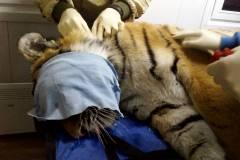 Тигр уже вышел из наркоза и адаптируется к новой среде в Центре «ТИГР»