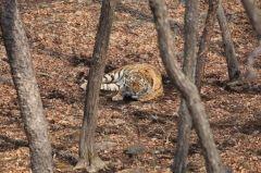 Еще один тигр гуляет возле Уссурийска
