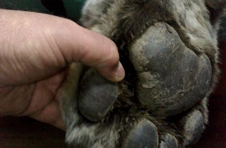 Тигр, пойманный во Владивостоке, избегает людей