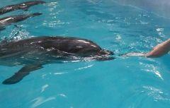 Пока умирали дельфины, Приморский океанариум напоминал про их тренировку