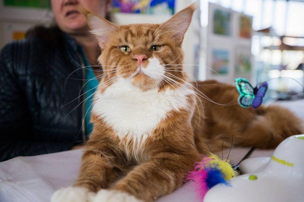 В прошедшие выходные во Владивостоке прошла выставка кошек «Хеллоуин-шоу»