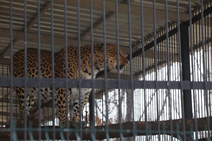 Ученые расшифровали геном дальневосточного леопарда