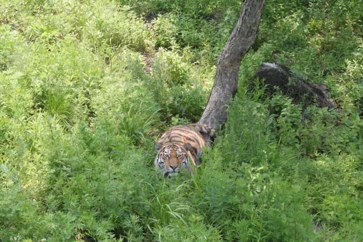 На трассе возле реки Каменушки в Приморье был замечен тигр