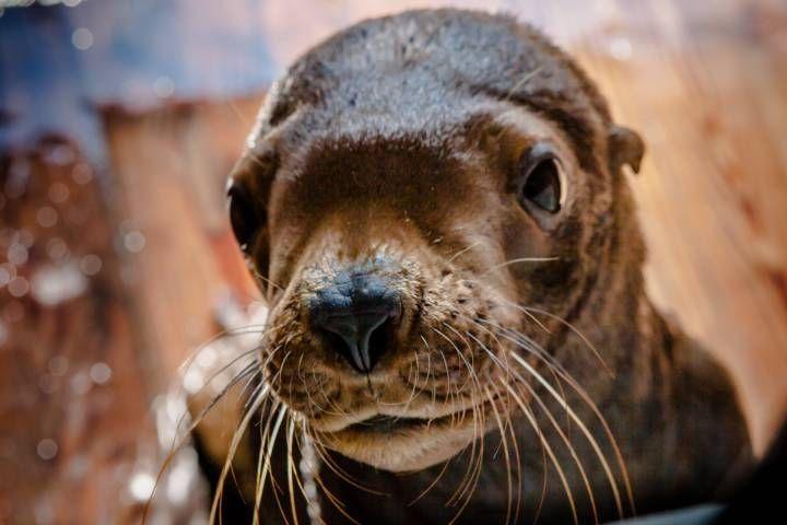 Приморский океанариум: Данила Козловский перепутал сивучей
