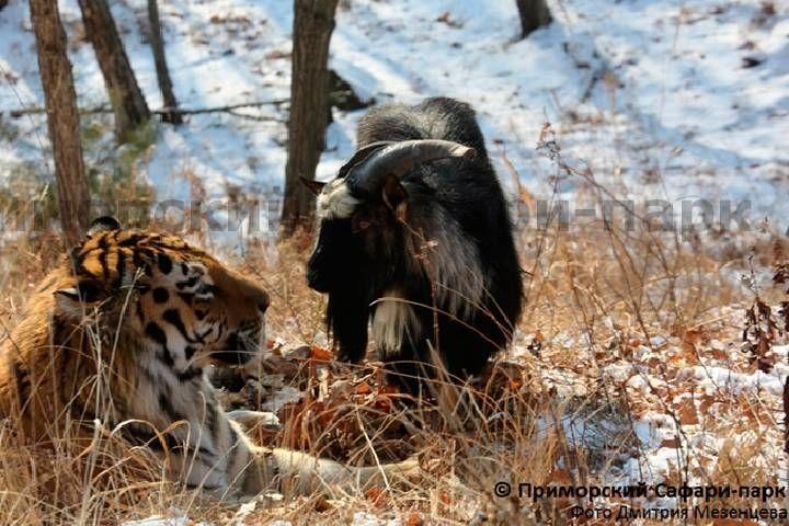 Поклонники Тимура и Амура поздравили звериную парочку с первой годовщиной знакомства