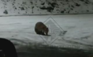 Оголодавшее животное вышло к людям в поисках пищи во Владивостоке