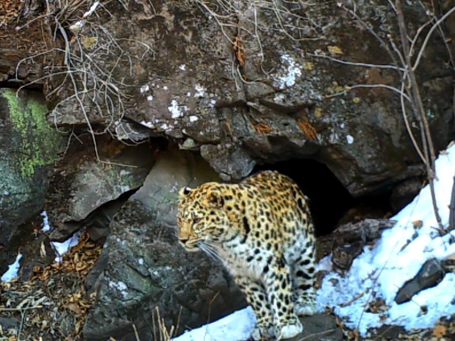Тигр пытался попасть в пещеру, где ночевала леопардесса, в Приморье
